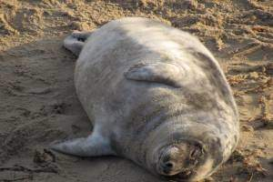 Seal laying on beach at Horsey Gap Seals